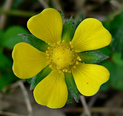 Potentilla indica, Indian Strawberry, Mock Strawberry