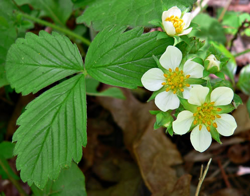 Fragaria virginiana, Wild Strawberry