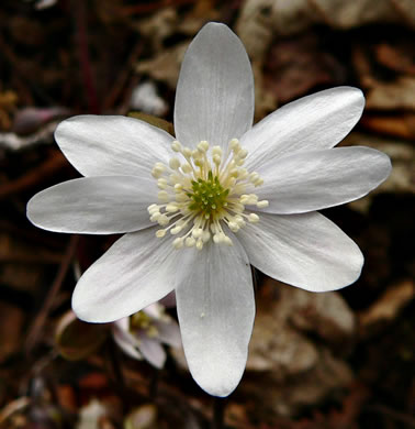 Hepatica acutiloba, Sharp-lobed Hepatica, Sharp-lobed Liverleaf