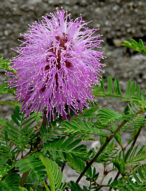 anther: Mimosa strigillosa, Mimosa strigillosa, -