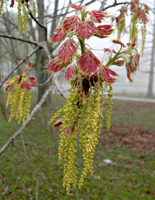 catkin: Quercus shumardii, Shumard Oak, Swamp Red Oak