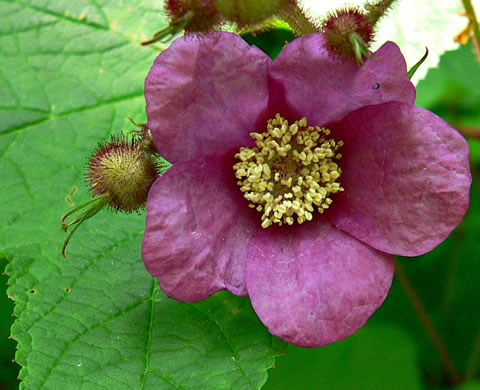 image of Rubus odoratus, Purple-flowering Raspberry, Thimbleberry