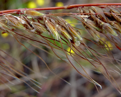 Sorghastrum secundum, Lopsided Indiangrass