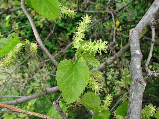 catkin: Morus alba, White Mulberry, Silkworm Mulberry, Russian Mulberry