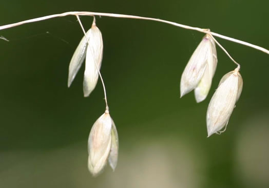 spikelet: Melica mutica, Melic Grass, Two-flower Melic