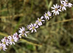 Eastern Silvery Aster