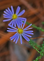 Walter's Aster